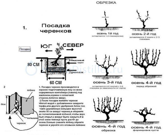 Виноград изабелла: подробная инструкция по посадке и уходу винограда (115 фото)