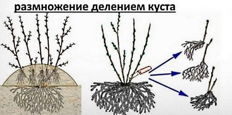 Вегетативное размножение крыжовника: 3 способа для новичков вегетативное размножение крыжовника: 3 способа для новичков