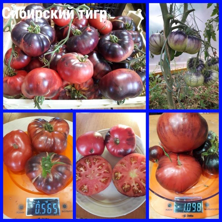 """Томат """"мясистый красавец"""": описание сорта, характеристики помидор, рекомендации по уходу русский фермер"""