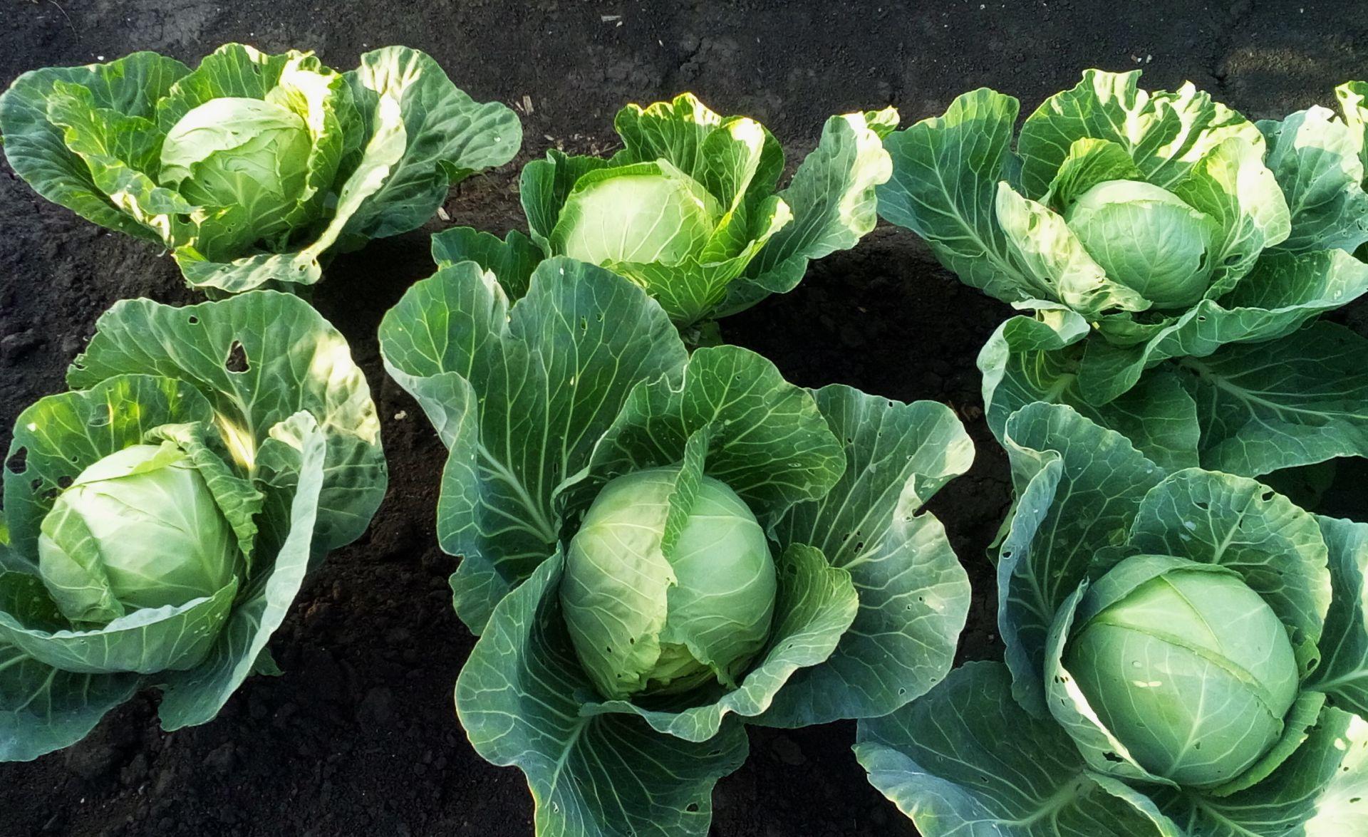 Как ухаживать за капустой в августе: топ-6 самых важных дел для урожая