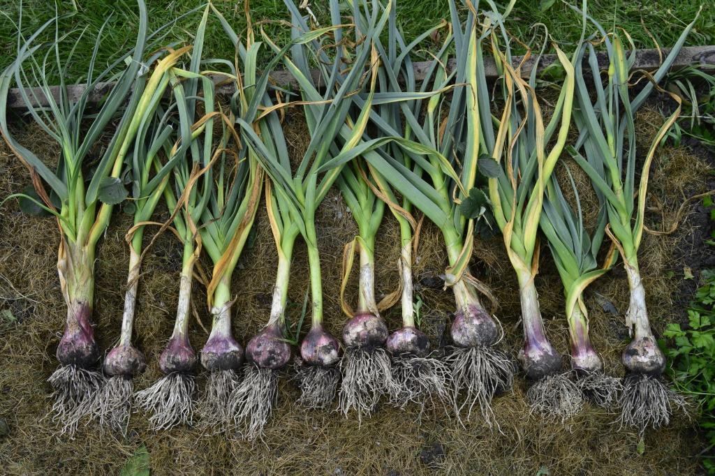 Когда выкапывать чеснок, посаженный под зиму в 2021 году, благоприятные дни для уборки урожая с учетом регионов