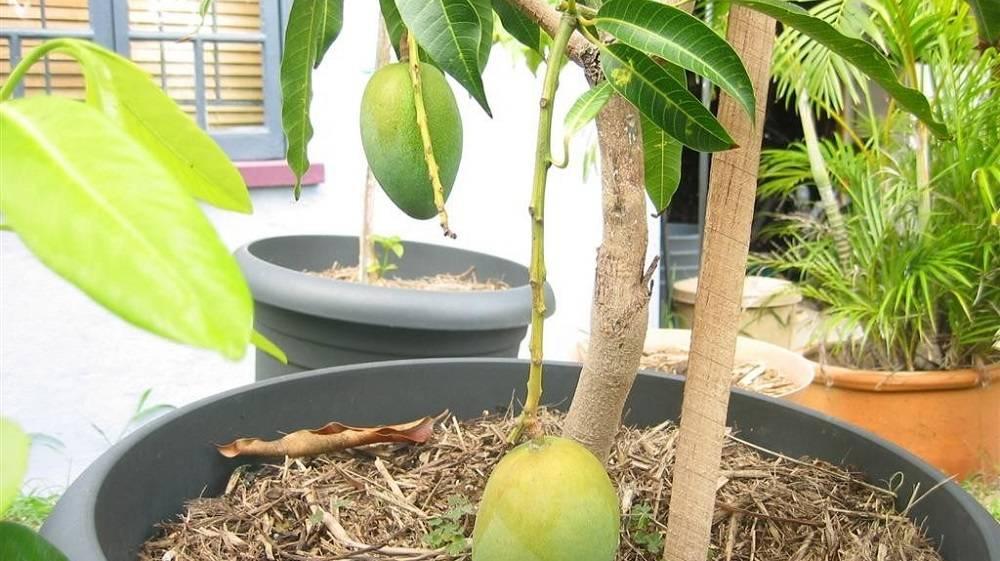 Как вырастить манго из косточки в домашних условиях?. выращиваем манго дома. как правильно вырастить манго у себя дома? что нужно делать и знать для этого?
