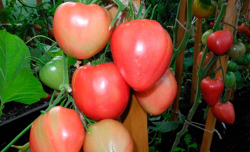 Характеристика сорта томатов чудо уолфорда - журнал садовода ryazanameli.ru