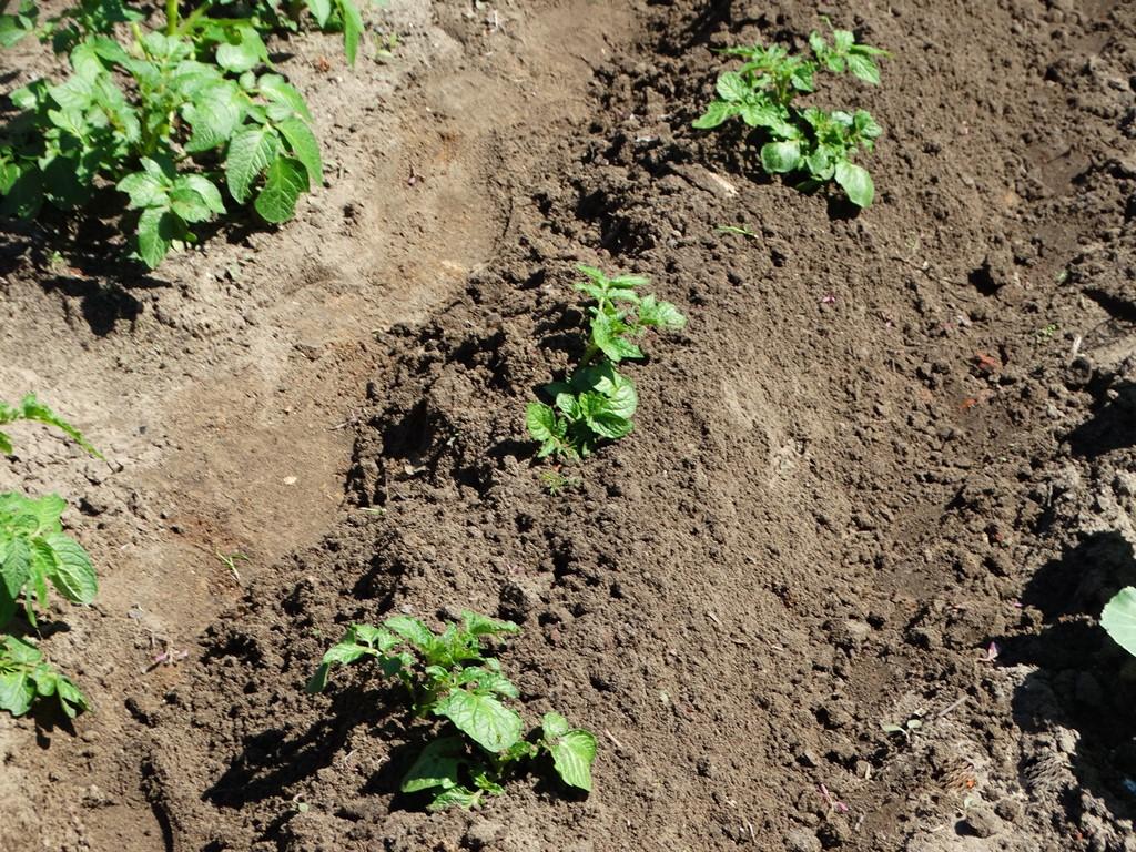 Окучивание картофеля: сроки и правила