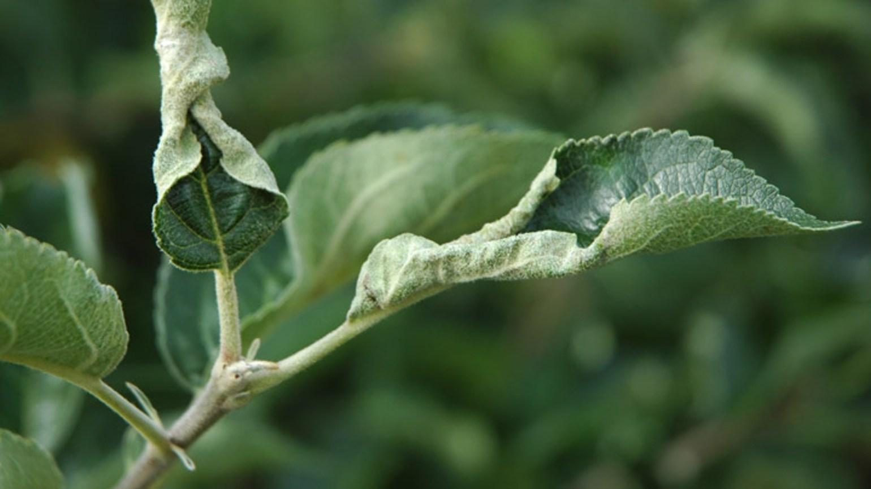 Листья груши чернеют и скручиваются в трубочку — как лечить и чем обработать