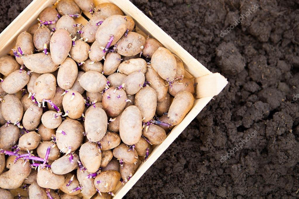 Влажное проращивание и проращивание семенного картофеля на свету