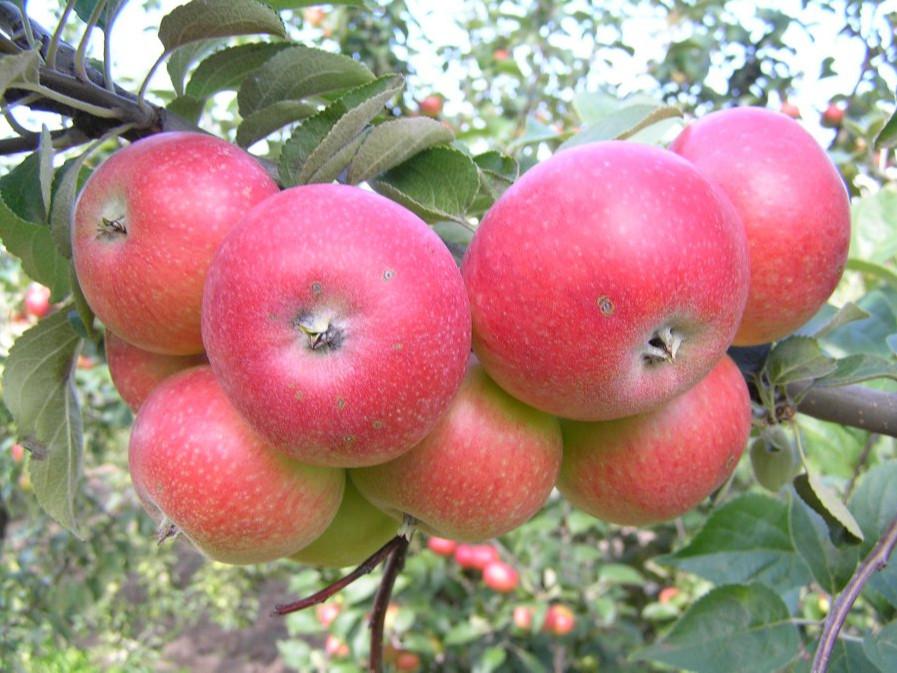 Яблоня «уралец» — описание сорта и агротехника выращивания