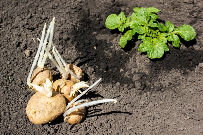 ᐉ картошка не взошла – причины и методы устранения проблемы - roza-zanoza.ru