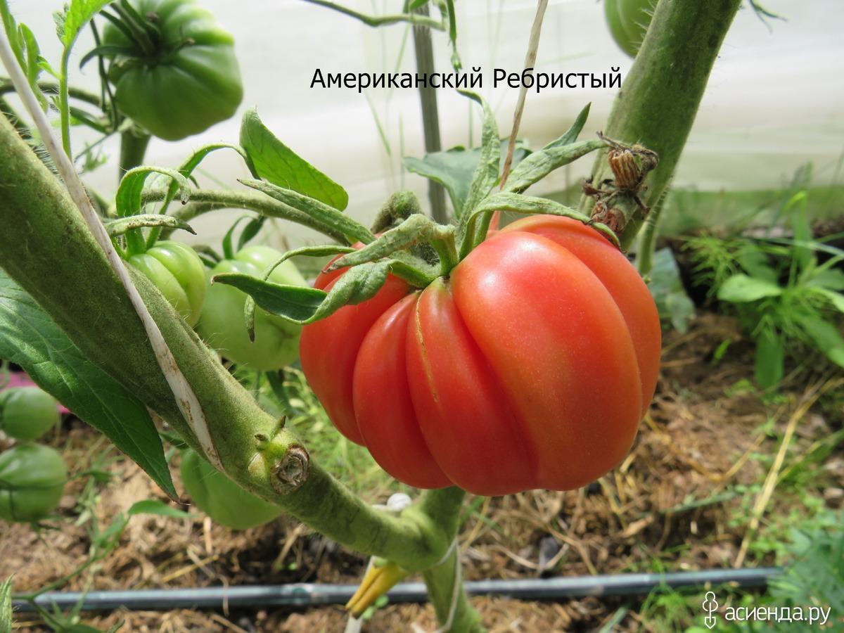 Самые необычные сорта томатов: по форме и цвету, ребристые, белые, черные, зеленые, рейтинг и отзывы огородников