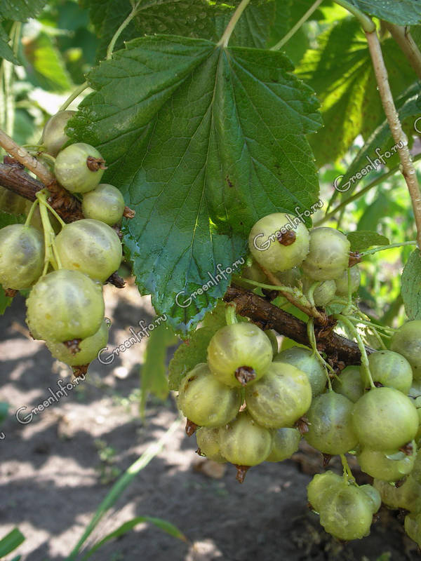 Смородина с зелёными ягодами изумрудная (изумрудное ожерелье): характеристики