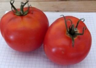 Томат лабрадор — характеристика и описание сорта, фото, урожайность, отзывы овощеводов