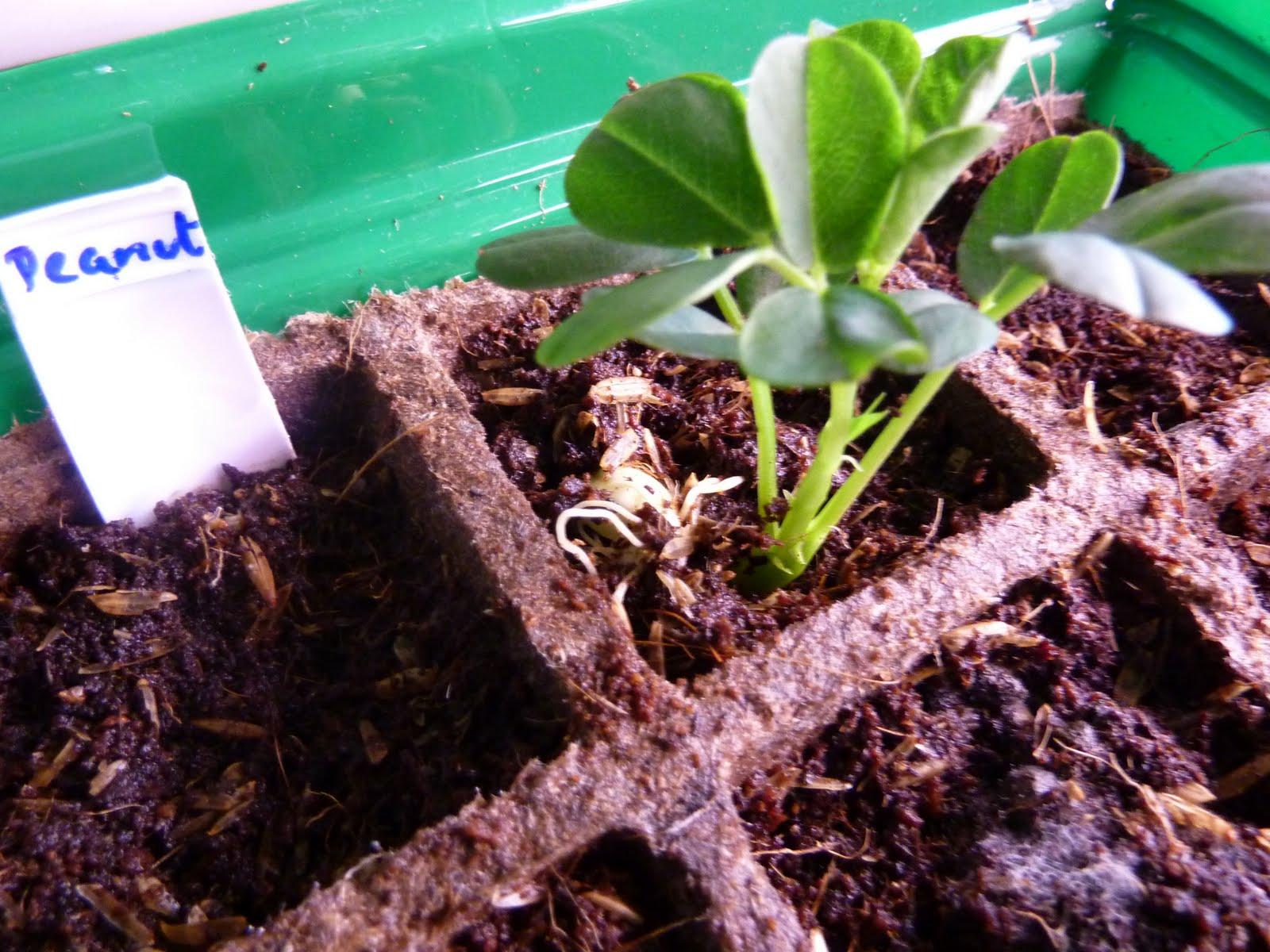 Как вырастить арахис в открытом грунте на урале и в сибири: можно ли сажать земляной орех на рассаду, а также как это делать на даче или огороде?