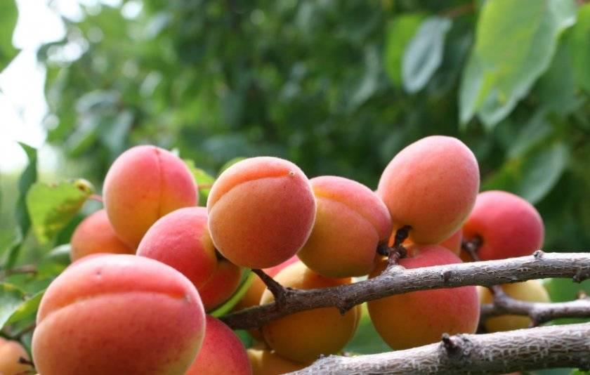 Сорта груши для сибири: описание 15 лучших, посадка и уход, правила выращивания
