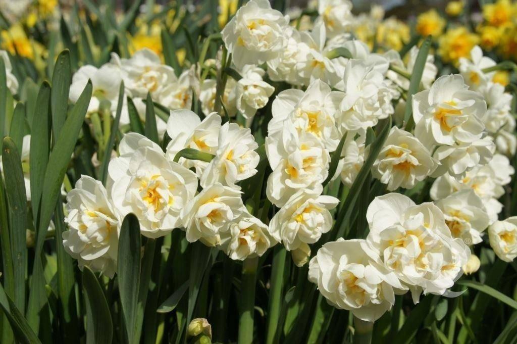 Нарцисс. уход, выращивание, размножение. декоративно-цветущие. садовые растения. сорта. виды. цветы. фото.