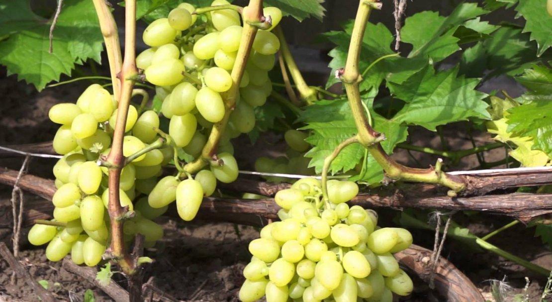 Виноград забава: отзывы, фото, описание сорта