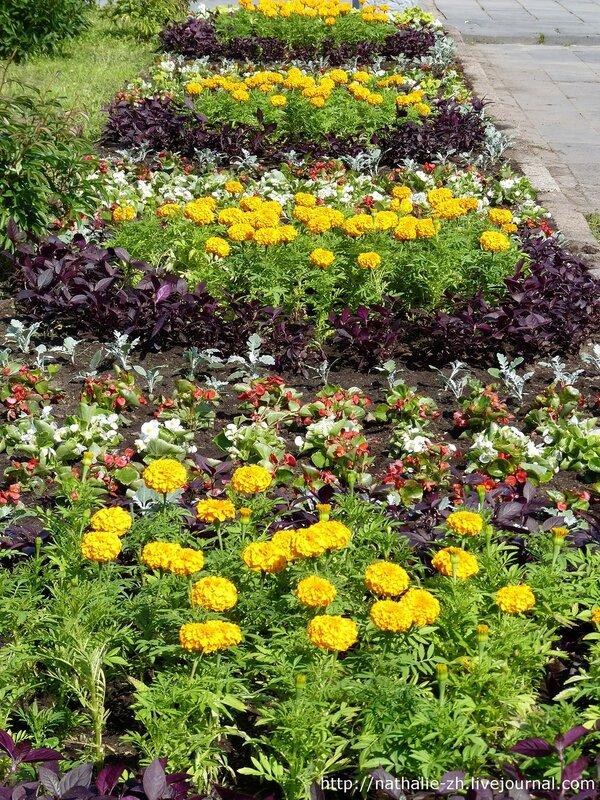 Бархатцы в саду. красивые клумбы из бархатцев. 9 фото