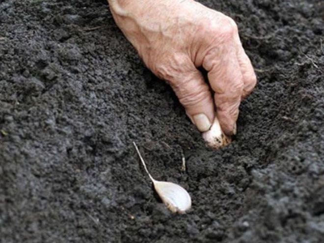 Посадка озимого чеснока осенью – подготовка семян и грядок, сроки и секреты ухода