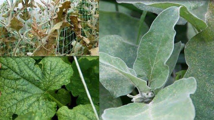 Как бороться с паутинным клещем на малине и чем лучше обработать