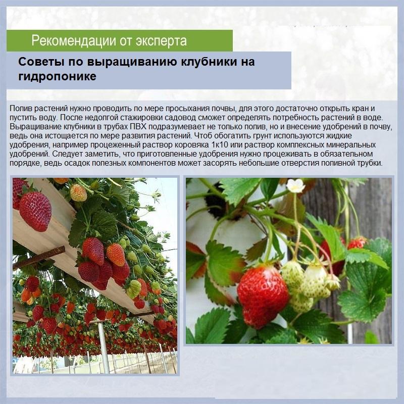 Описание клубники сорта Мурано и правила выращивания