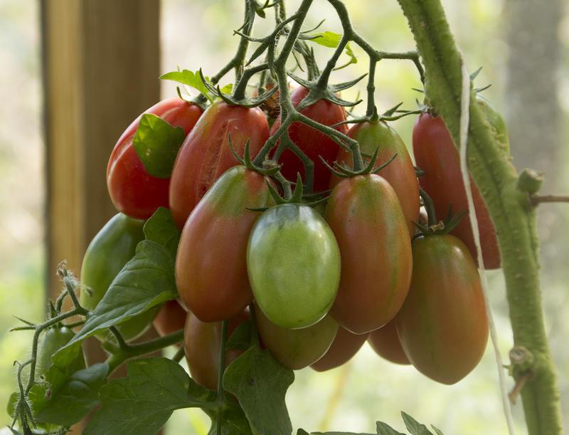 Характеристика и описание сорта томата изюминка, урожайность