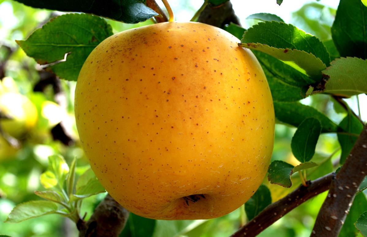 Яблоня китайка золотая: описание сорта, фото, отзывы