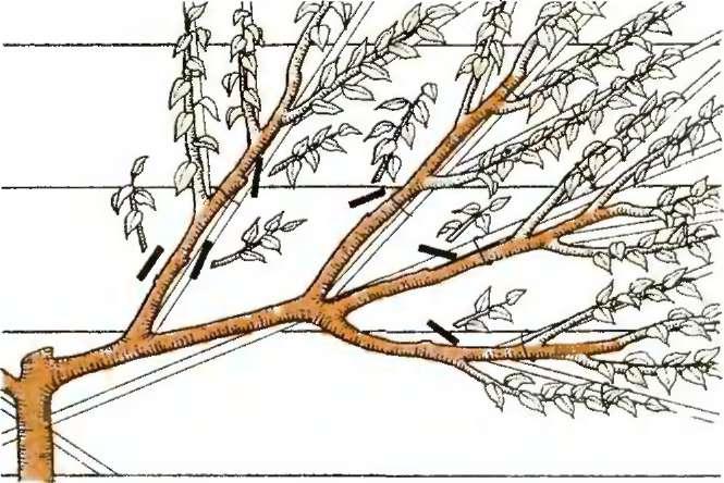 Обрезка грецкого ореха – весной или летом?