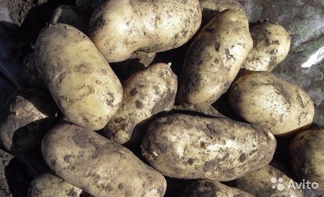 Картофель чародей: характеристика и описание сорта, фото картошки чародейка, вкусовые качества и особенности выращивания, отзывы