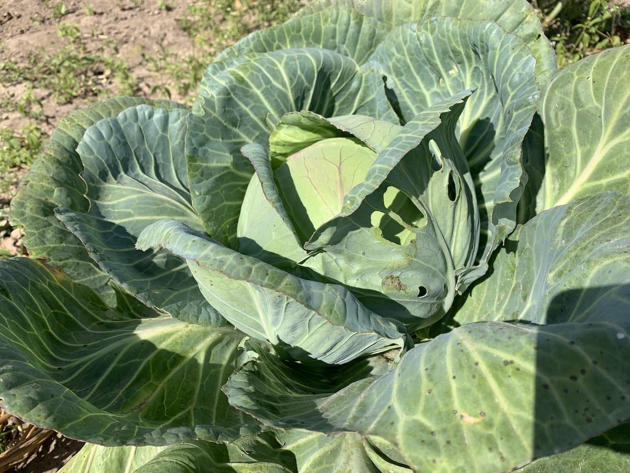 Покраснели листья капусты – как бороться, что делать с проблемой