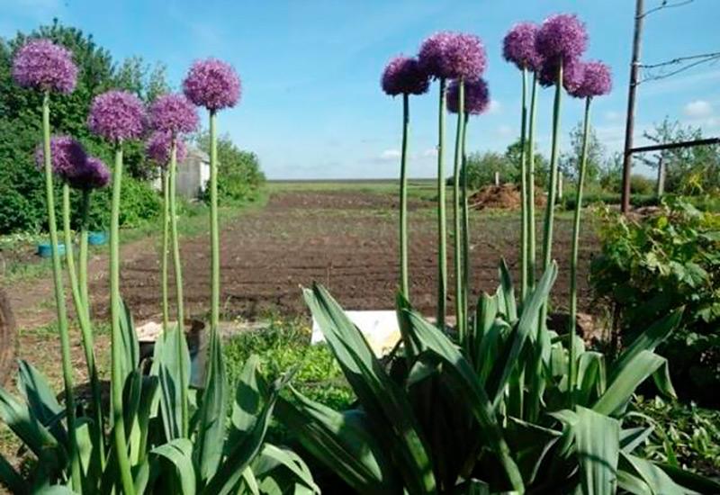 Лук анзур: фото гигантских луковиц, полезные свойства, рецепты приготовления и как замариновать, особенности выращивания, применение в пищу чеснока сирийского