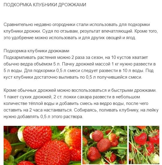Какую клубнику можно выращивать на подоконнике круглый год | общество | селдон новости
