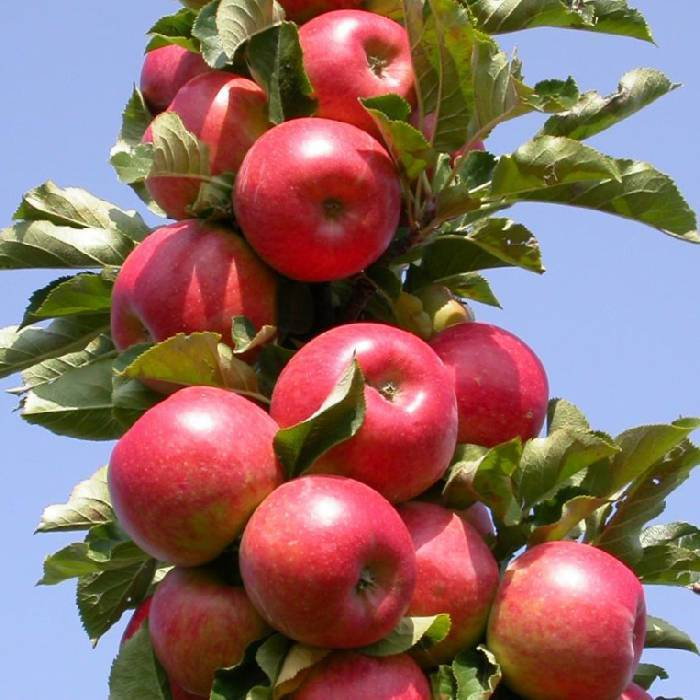 Яблоня колоновидная останкино: описание и выращивание сорта, отзывы и фото