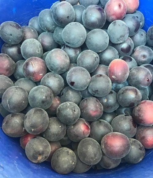 Лучшие сорта абрикос для подмосковья и их особенности