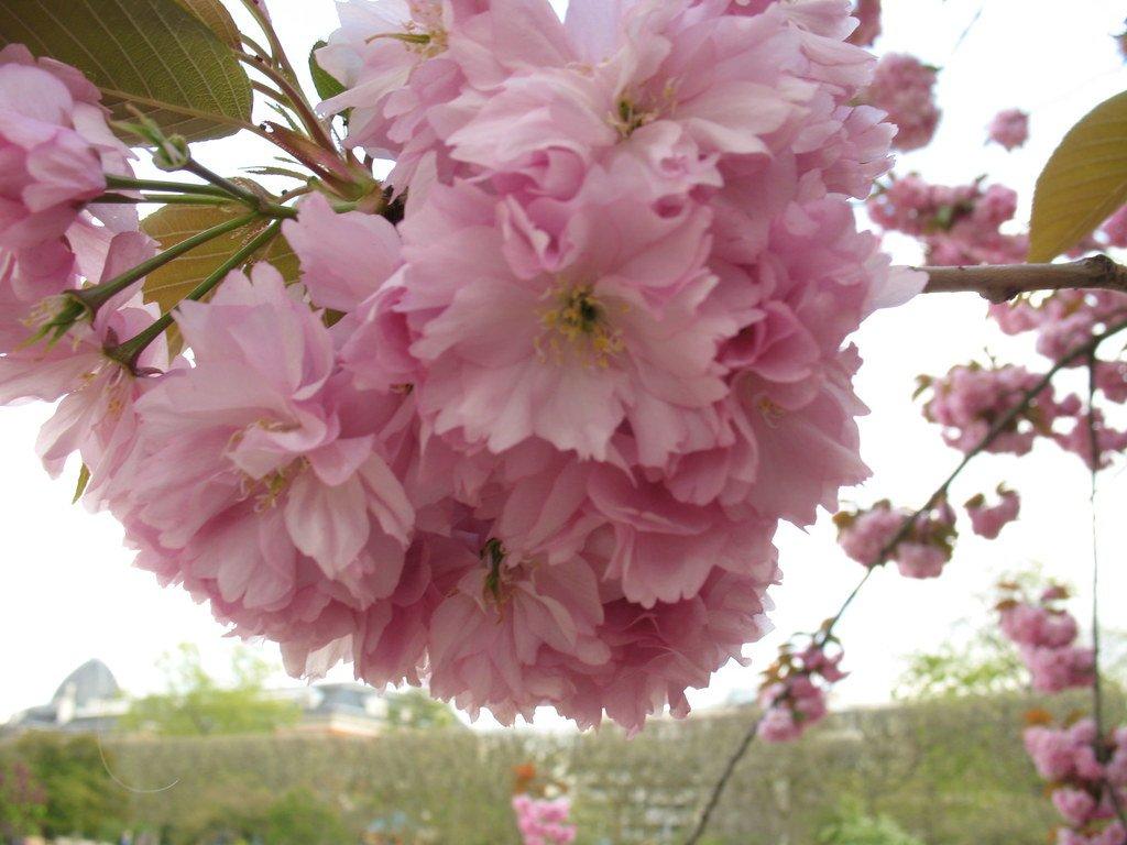 Посадка сакуры в открытый грунт — все о японской вишне