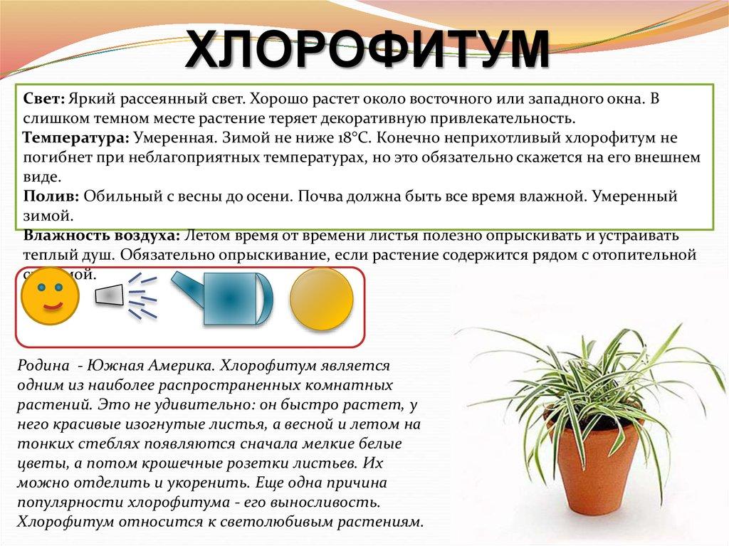 Хлорофитум - приметы и суеверия: к чему зацвел ваш зеленый друг, можно ли держать его дома и что сулит женщинам этот цветок?