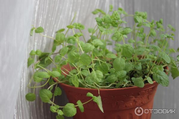 Как вырастить мяту в домашних условиях из семян: новости, огород, растения, советы, сад и огород