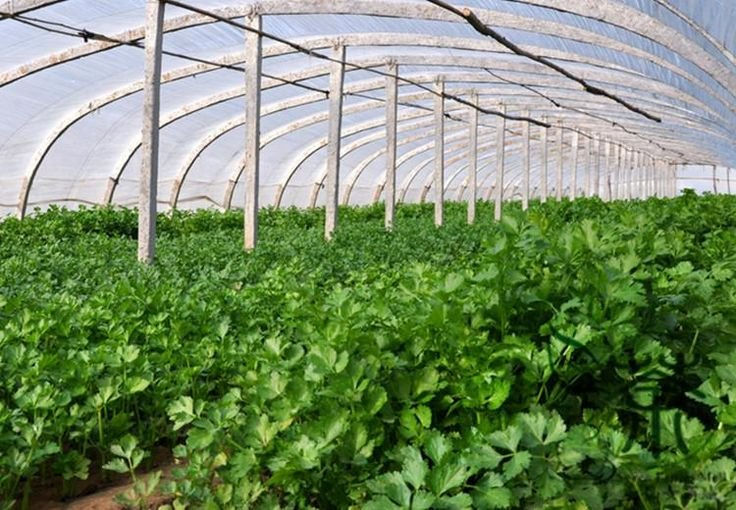 Как вырастить душистый укроп в теплице   огородник