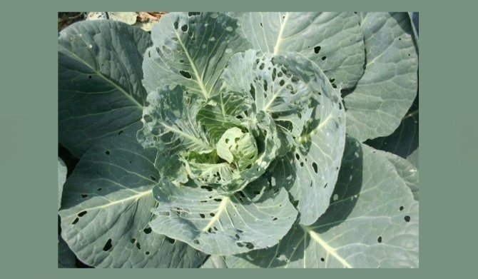 Народные средства от вредителей капусты