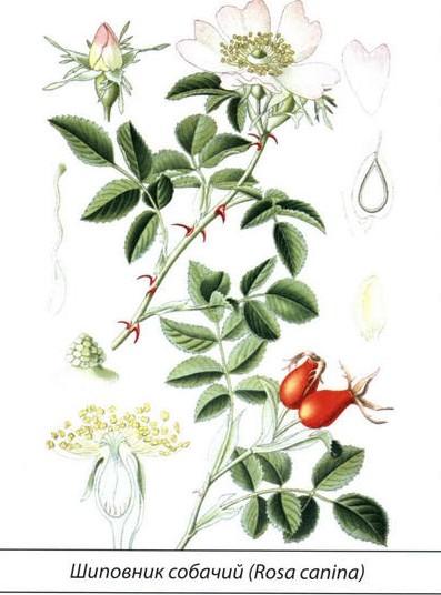 Шиповник собачий (роза канина): как выглядит, отличить, описание лекарственной травы, концентрат