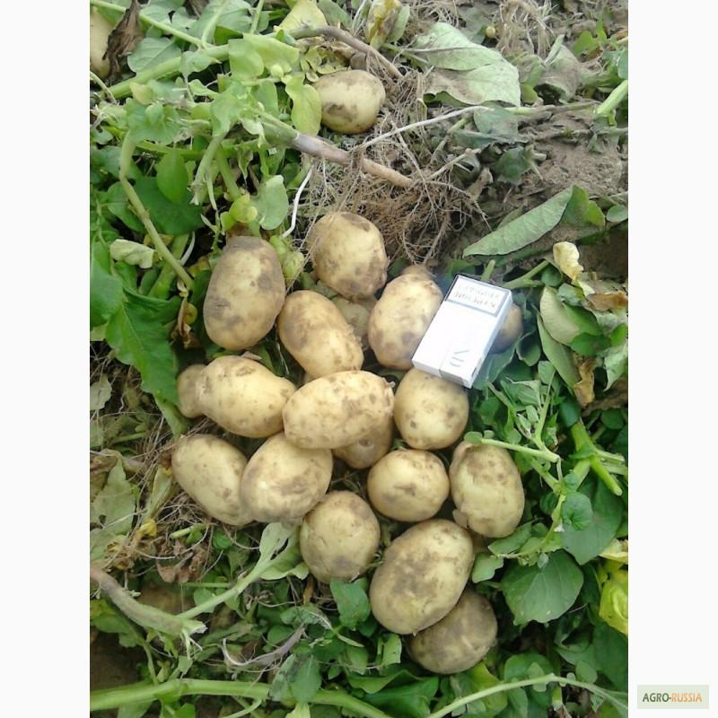 Картофель импала: описание сорта, отзывы, характеристика