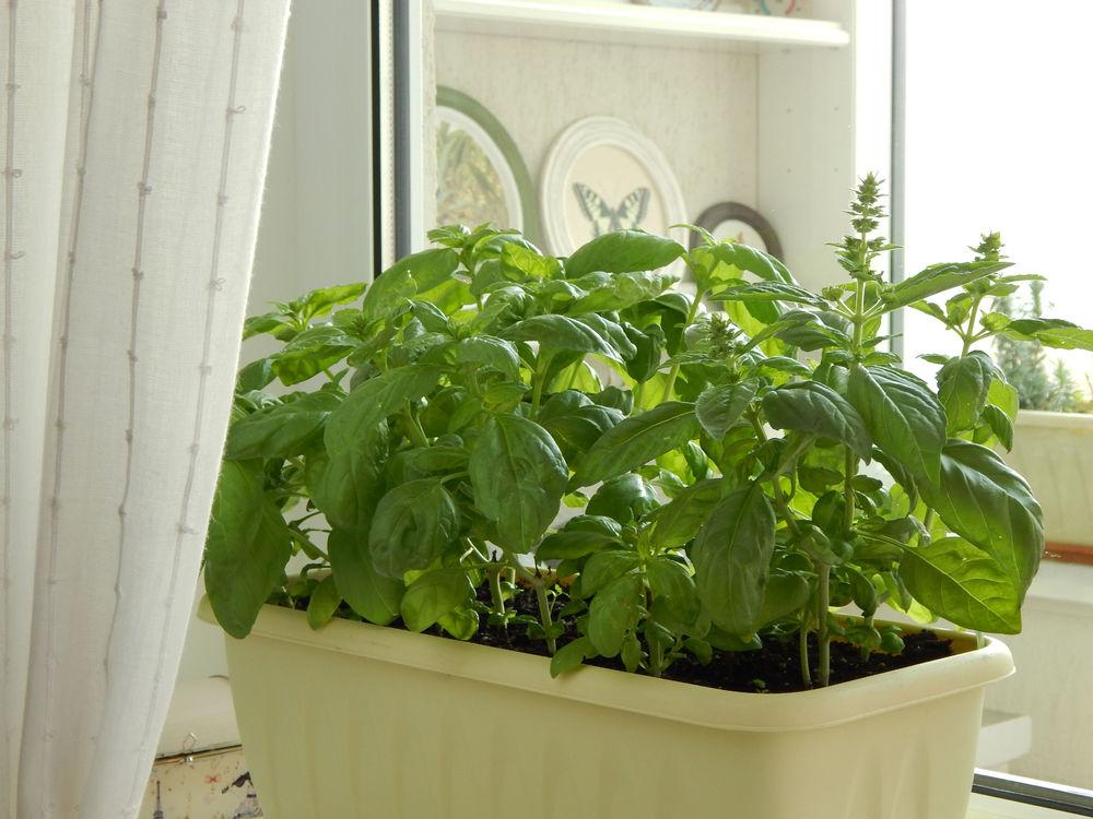 Базилик на подоконнике: как вырастить и ухаживать в домашних условиях