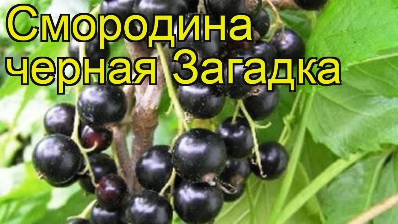 Описание и выращивание черной смородины сорта Загадка