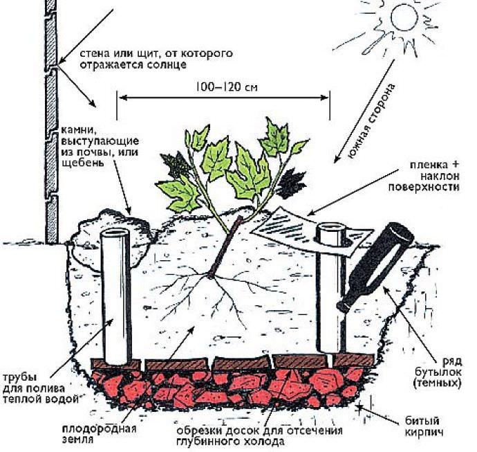 Агротехника винограда - размножение