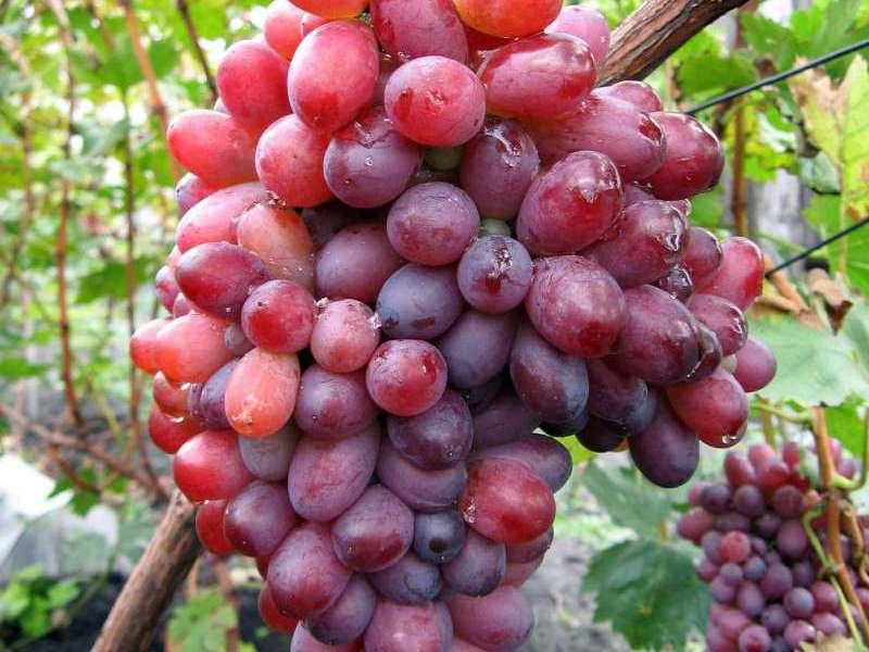 Сорта винограда для сибирии и алтая (амурский, суперранний мускат и другие), рекомендации по выбору сибирского сорта, от соловьева, морозостойкий
