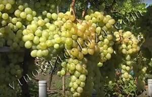 Виноград ани: что нужно знать о нем, описание сорта, отзывы