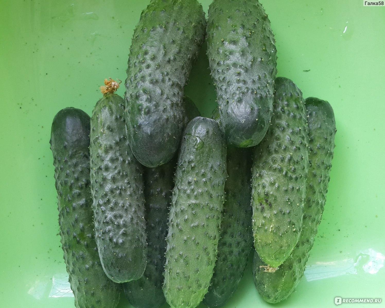 Описание огурцов сорта Муромский 36, выращивание и уход за молодыми кустами