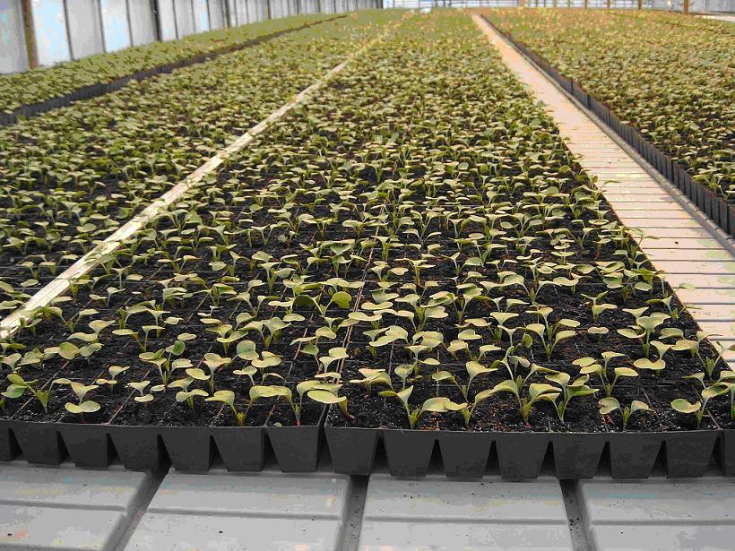 Особенности посадки и выращивания редиса в теплице, подготовка, уход
