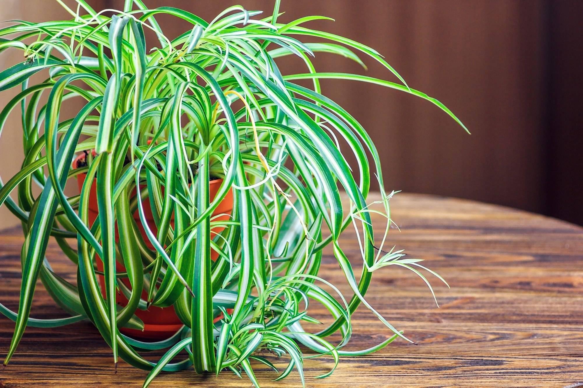 Хлорофитум: виды и сорта, фото, особенности растений