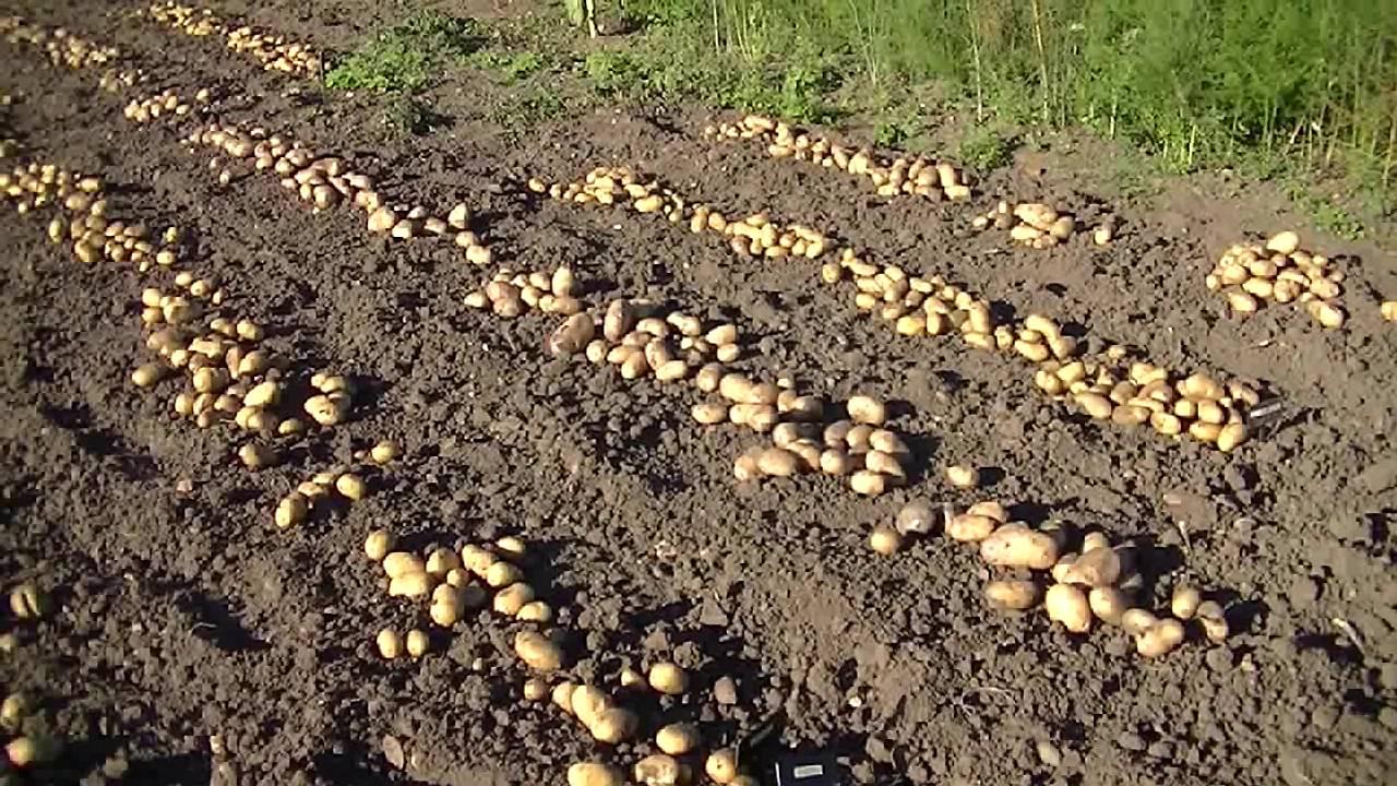 Как спасти картофель в дождливое лето: особенности посадки и ухода