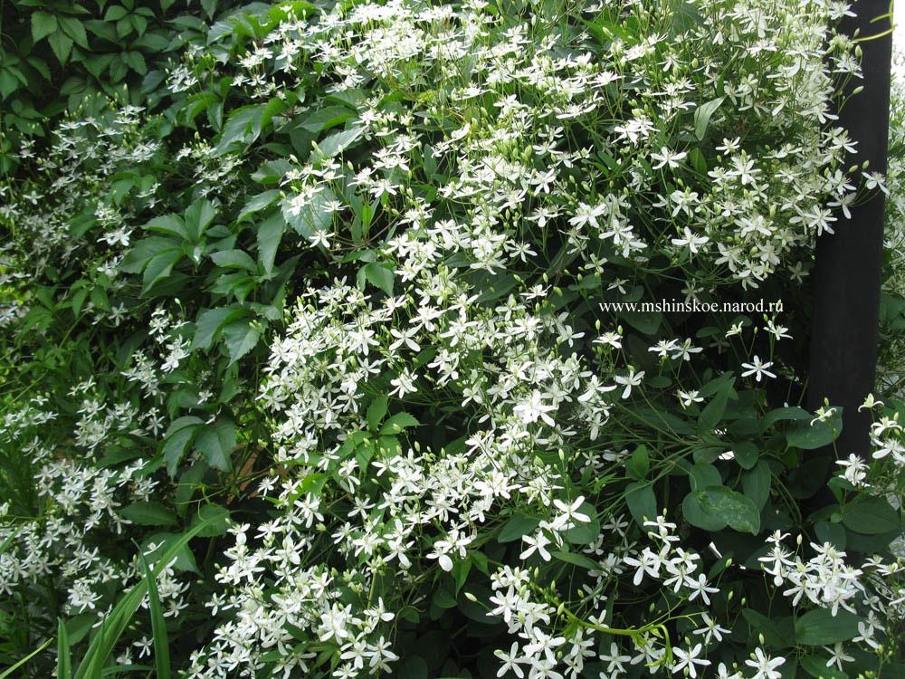 Выращивание клематиса в открытом грунте: посадка, уход и размножение