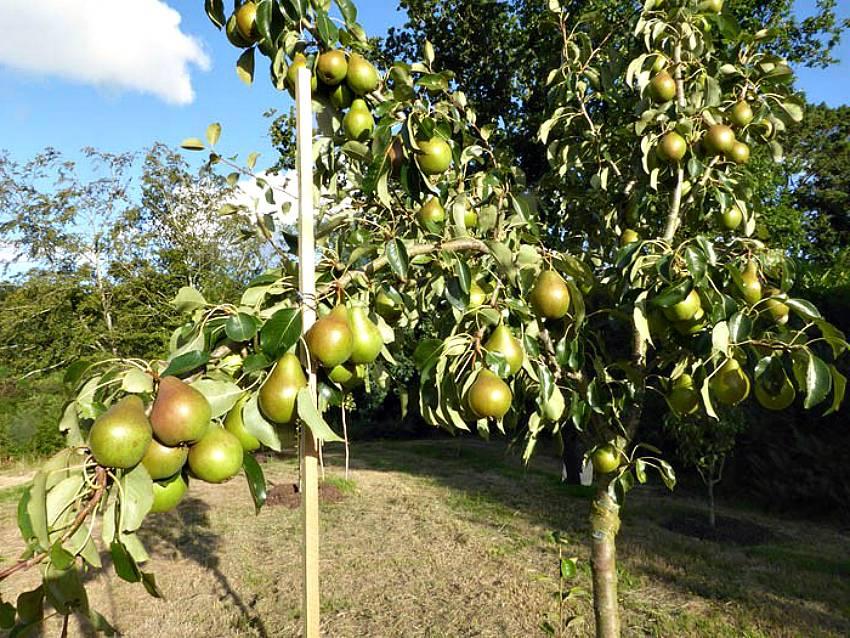 Почему яблоня перестала плодоносить и что делать ?